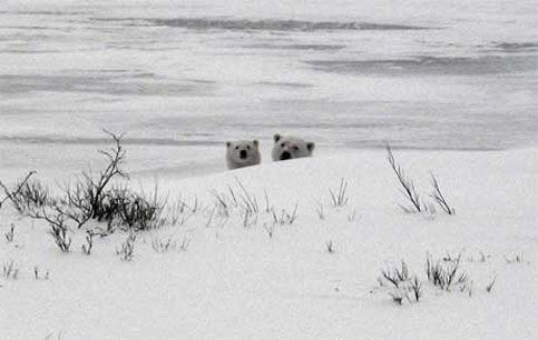 Polar Bears in Canada are a delight to travelers