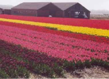 Tulips in Netherlands